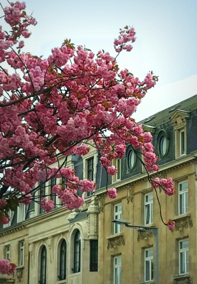 Entre ciel et toits, les cerisiers en fleur - Luxembourg Ville